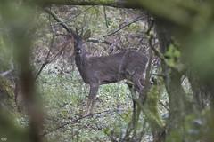 Roe Deer (garryoldfield1968) Tags: roedeer birkacre yarrowvalleycountrypark garryoldfield gto1990skycom