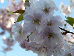 Spring blossoms (MsAndi63) Tags: springblossoms frühlingsblüten panasoniclumixfz150 ostalb