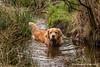 Goldie Tygo (muldermirjam) Tags: goldenretriever dog animal animals pet water woods pon lake