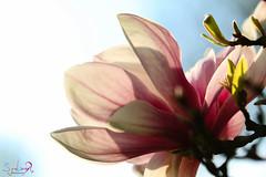 Magnolia... (S A Y A D's Photography) Tags: magnolia france magnifique fleurs printemps printempsportrait belle beauty bleu alsace amour alsacelove canon canon80d nature strasbourg smile sunshine summer sun soleil green 70200usmii gorgeous
