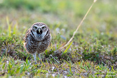 WAKE UP AND GET MOVIN'! ... AND HAVE A HAPPY MONDAY! (ac4photos.) Tags: owl burrowingowl littleowl nature wildlife bird animal florida naturephotography wildlifephotography birdphotography animalphotography owlphotography nikon d500 tamron150600mm ac4photos ac