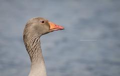 Greylag Goose (Emma Carr Photography) Tags: wildlife nature naturephotography wildlifephotography rsbp leightonmoss leighton moss birdnerd birds greylag goose