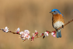 Eastern Bluebird (ayres_leigh) Tags: bluebird nature wildlife canon