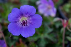 Geranium 'Rozanne' (MGormanPhotography) Tags: geranium rozanne rosanne geraniaceae perennial cranesbill blue violet purple pink flower bloom black dark green foliage patent