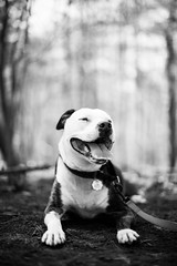 Pitty (brendon_curtis) Tags: canon eos 50mm f12l f12 l f 12 lens prime portrait dog canine pitbull mutt mix breed purebred shallow depth field bokeh bokehlicious 5dmkiii 5d mkiii mk iii full frame doggo