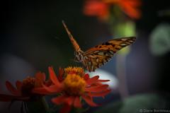 Beauty (diane.bordeleau) Tags: papillon butterfly nature natural orange fields color colorful coloré light lumière flowers flower flore