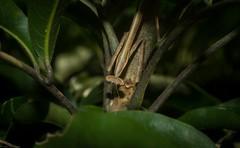 predator (dustaway) Tags: northernrivers nsw nature australia arthropoda insecta mantid lismore lismorerainforestbotanicgardens australianinsects mantodea