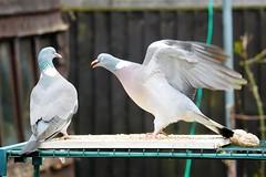 21 April 2017 (12) (AJ Yakstrangler) Tags: yakstrangler pigeon pigeons