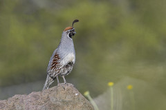 Gambel's Quail (nikunj.m.patel) Tags: quail gambelsquail grassland desert southwest arizona kingman birds avian bird nature wildlife photography backroads i66 mohave