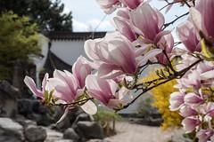 Berlin, IGA 2017: Magnolie im Chinesischen Garten - Magnolia in the Chinese Garden (riesebusch) Tags: berlin gärtenderwelt iga2017 marzahn