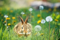 Happy Easter (elenashen5) Tags: animal bunny rabbit easter dandelion grass