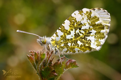 Female Orange Tip (ABPhotosUK) Tags: animals anthochariscardamines bokeh butterflies canon dartmoor devon eos7dmarkii female invertebrates lepidoptera nocrop orangetip pieridae seasons spring springwatch wildlife macro ef25mmextensiontube