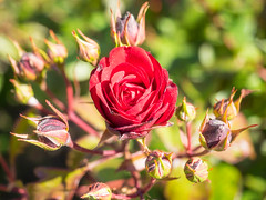 Red Rose (melastmohican) Tags: rose sunny natural color beautiful season nature floral gardening day beauty shrub outdoor orange red garden bush plant colorful fresh flora petal rosebush love botanical outdoors blossom nobody bloom flower field
