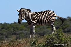 Burchell's Zebra 121806gb (Dirk Huitzing) Tags: burchellszebra equusburchelli