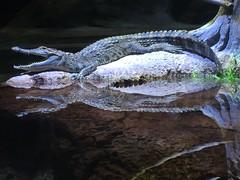 Siamese Crocodile (HockeyholicAZ) Tags: odysea aquarium captive husbandry animal fish aquatic zoo arizona usa america tribal income revenue tourist attraction desert scottsdale