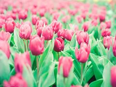 000044840005 (matthew_image) Tags: 80mm f28 mamiya m645 645 1000s film kodak portra 160 iso iso160 filmisnotdead films portra160 flower flowers hong kong hongkong hk hongkonger color colours colour colorful colors colourful