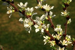 Branch Of Japanese Cherry Blossoms 006 (Chrisser) Tags: flowers cherryblossoms prunus rosaceae nature ontario canada canoneosrebelt6i canonefs1855mmf3556isstmlens gardening garden fourseasons spring closeups