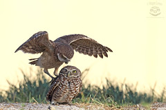 """Get off my back!!"" (Megan Lorenz) Tags: burrowingowl owl bird avian birdofprey owlet nature wildlife wild wildanimals florida mlorenz meganlorenz"