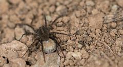 Spinne (Der Felsberg) Tags: spinne spinnen spider spiders makro makros macro macros outdoor nikon d5200 105mm sigma auge augen eye eyes haaarig