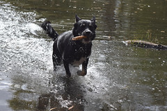 Fili - fun in the water (mikros.anthropos) Tags: fili dog hund crossbreed mix mutt mischling tier animal husky australianshepherd bordercollie hollandseherder nikond3300 outdoor water wasser