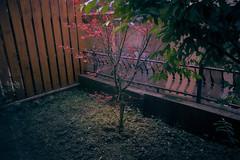 小楓樹 (何神) Tags: 楓 trees 葉 red green light garden home 人文 攝影 生活 日常 植物 後院 圍牆 欄杆 住家 fujifilm 廣角 定焦