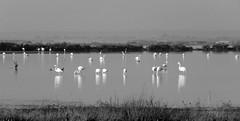 IMG_0015y (gzammarchi) Tags: italia paesaggio natura ravenna marinaromea piallassabaiona piallassa lago animale fenicottero stormo riflesso bn