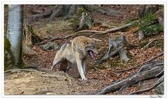 Dents de loup ! (C. OTTIE et J-Y KERMORVANT) Tags: nature animaux mammifères loups parcanimalier bavière allemagne bayerischerwald