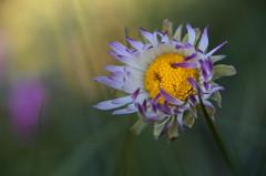 Te sonrío. (Amparo Hervella) Tags: españa spain flor margarita macrofotografía macro naturaleza d7000 nikon lentemacro nikond7000