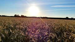 Cereal meadow (michellemätzig) Tags: germany europe meadow gold good gorgeous awesome exciting best beautiful favorite fantastic light day colour sky blue shadow nature landscape