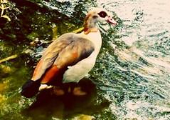 Ouette d'Égypte (camilleromane1) Tags: ouette oie moselle france animaux oiseau palmipède egypte portable lg lgg3 water eau nature