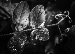 ...brave trapeze artist.. (dawn.tranter) Tags: thursday bokeh monochrome blackwhite bw dew drops water early morning backlit light leaves curly vine tendril artist trapeze brave 7dwf