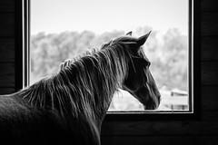 Lucy Looks Out (Jen MacNeill) Tags: horse horses detail equine farm stable light barn mountainhorse bw blackandwhite blackwhite framed framing