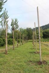 IMG_0994_1 (Pablo Alvarez Corredera) Tags: vega barros langreo huerta huerto arboles arbol kiwis kiwi postes alambrado rural mundo rustico