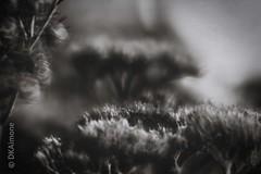 Dark Bouquet (DKAIOG) Tags: lensbabyvelvet56mmf16 sonya7r safe