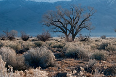 Owens Valley pasture (Thankful!) Tags: owensvalley mountains morning mist hardlight desert sagebrush rabbitbrush pasture field