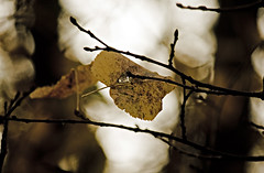 (Angela Schlafmütze) Tags: foglia blatt gelb giallo tremare zittern inbilico aufderkippe alberi bäume bosco wald