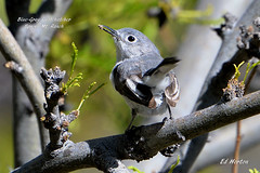 Blue-Gay Gnatcatcher  ( Polioptila Caerulea ) (Edhorton) Tags: spring mt ranch las vegas nevada wildlife birding bluegay gnatcatcher polioptila caerulea