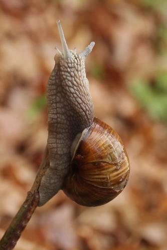 Escargot - Helix pomatia