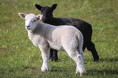 Spring: Lambs (alison2mcewan) Tags: farming fields scotland uk british field outdoor mammal lamb