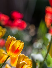 Afternoon Glow (Ayas A.) Tags: smcpda55mmf14sdm pentax k3 55mm f14 spring tulips flowers outdoors colors bokeh
