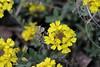 Alyssum montanum, Berg-Steinkraut (julia_HalleFotoFan) Tags: alyssummontanum bergsteinkraut kreuzblütengewächs alyssum steinkräuter brassicaceae