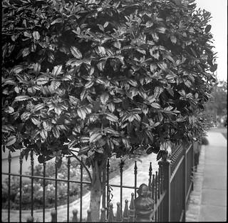 holly tree, wrought iron fence, sidewalk, garden, Uptown, New Orleans, Louisiana, Zeiss Ikon Nettar, Arista.Edu 400, Ilford Ilfosol 3 developer, late April 2017
