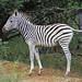 DSC05054 - BONGANI     Zebra adolescent