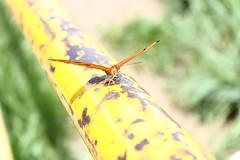 Borboleta bairro São João JM - Wir Caetano - 26 04 2017 (17) (dabliê texto imagem - Comunicação Visual e Jorn) Tags: borboleta inseto amarelo escada ferrugem