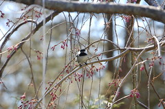 Spring 2017 North Salem (lettylibrarian) Tags: spring birds dogs forsythia