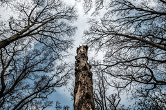 Nature's totem pole (Wouter de Bruijn) Tags: fujifilm xt1 fujinonxf14mmf28r forest tree trees branches dead trunk nature outdoor mantelingen walcheren zeeland nederland netherlands holland dutch