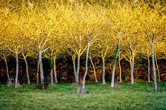 SunGold.jpg (Klaus Ressmann) Tags: klaus ressmann omd em1 olympus system fcharente landscape winter design flcnat sunburst trees yellolw klausressmann omdem1 olympusomdsystem