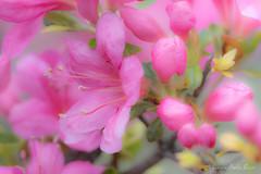 Azalea (Laurie-B) Tags: azalea explored 2017 annearundelcounty eukaryotasuperkingdom magnoliophytadivision magnoliopsidaclass maryland northamerica plantaekingdom spermatophytasuperdivision tracheobiontasubkingdom usa westernshore bloom blooming blossom flower floweringplants flowers