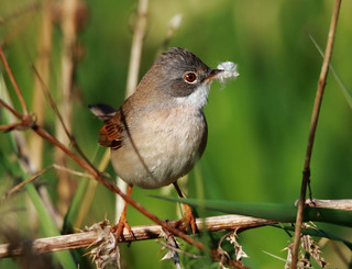 Whitethroat with nesting material.
