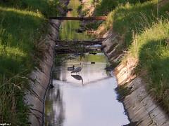 Deininghauser Bach (wpt1967) Tags: heron duck ente ruhrgebiet reiher castroprauxel renaturiert renaturierung kttelbach deininghauserbach